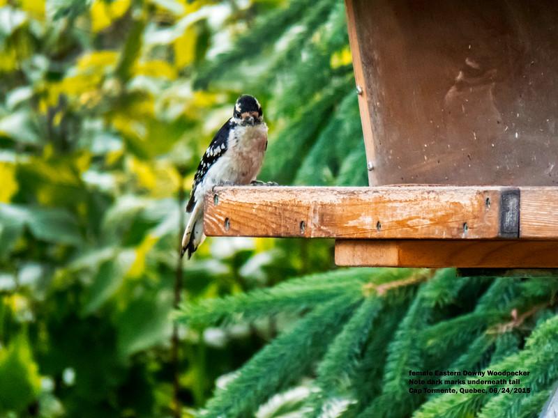 a624 1503 IMG_1045 4T fm Eastern Downy Woodpecker Cap Tormente Quebec.jpg