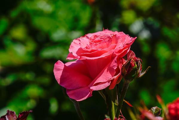 San Jose Rose Garden 06-04-15