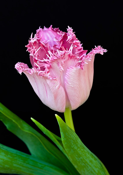 French Tulip.jpg