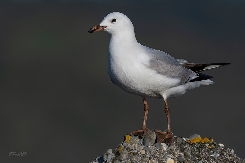 Red-billed Gull, imm, Greymouth, SI, NZ, Sep 2018-1.jpg