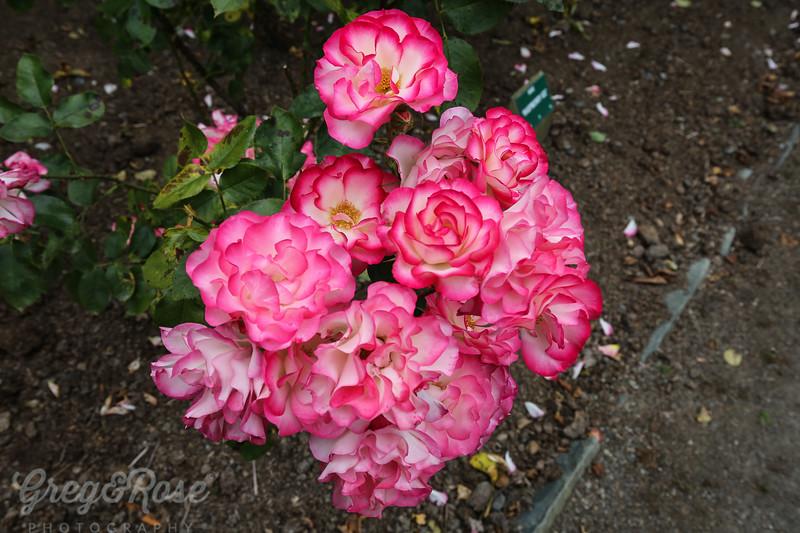 Rose-Raspberry Ice