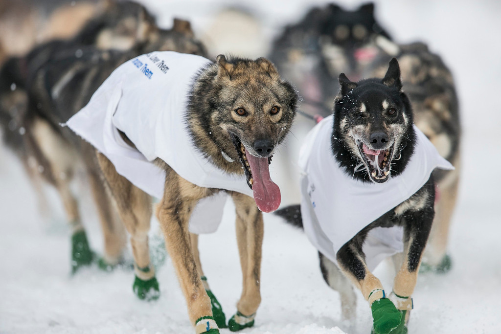 . The lead dogs of musher Richie Diehl race down 4th Avenue at the ceremonial start to the Iditarod dog sled race in downtown Anchorage, Alaska March 2, 2013.   REUTERS/Nathaniel Wilder