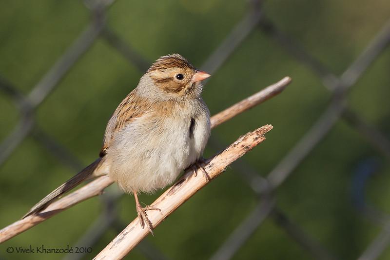 Clay-colored Sparrow, Byxbee Park, Palo Alto, CA