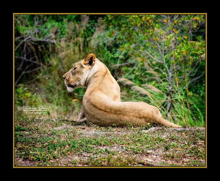 Lioness sideview sm.jpg