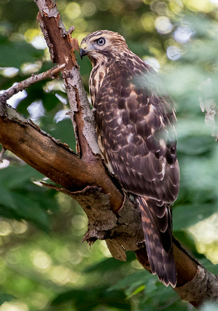 Hawk visiting our yard