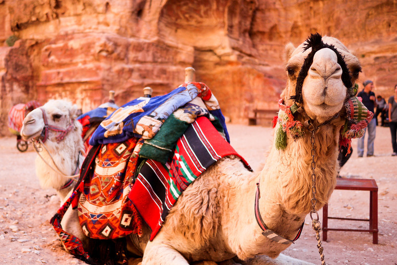 Camels at Petra, Jordan.