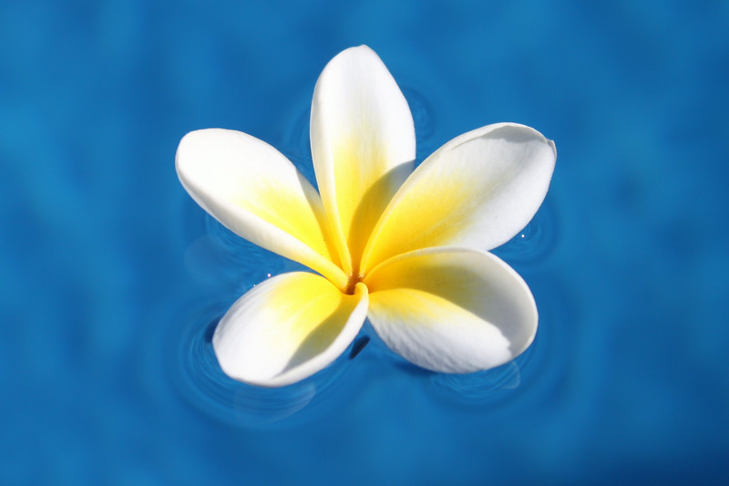 Frangipani in Pool