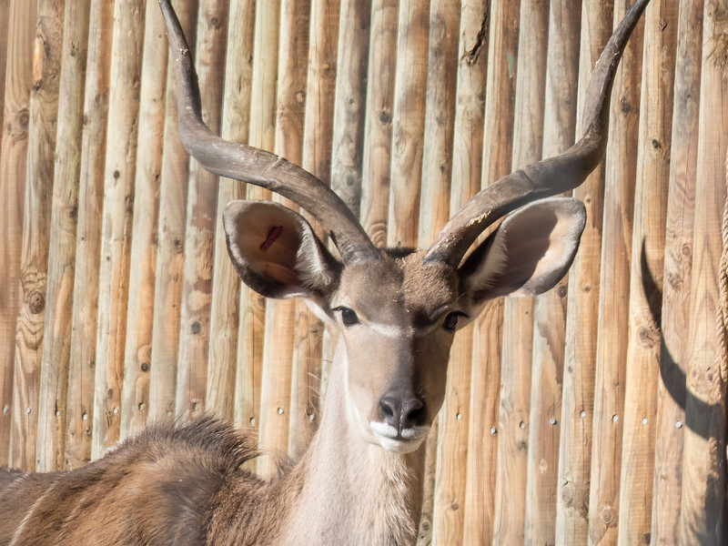 Animals, Greater Kudu, Marwell Zoo - 02/02/2013