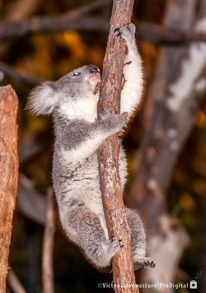 Koalafornia-31.jpg