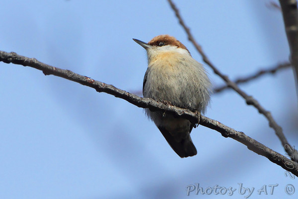 2012-02-24 Brown-headed Nuthatch