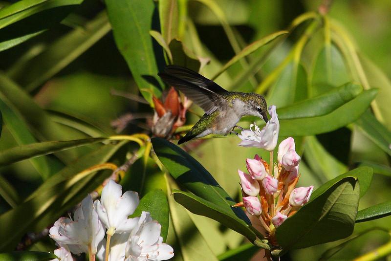 Ruby Throated Hummingbird, Blue Ridge Parkway, Maggie Valley, NC - 30 June 2013