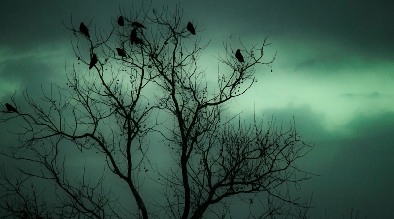 Crows in a Sycamore tree on St. Patricks