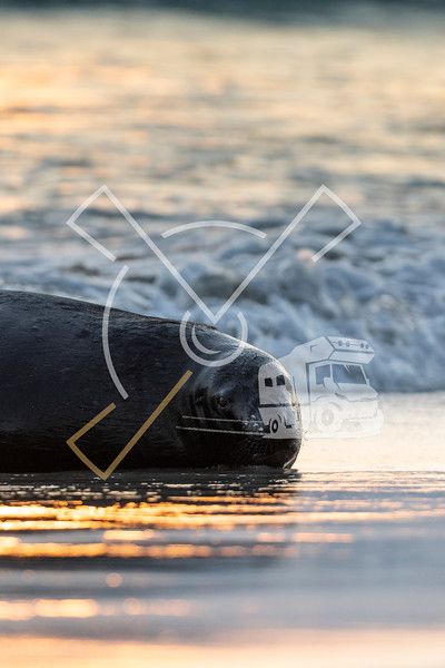 Adult New Zealand Sea Lion laying in the surf at the beach of Sandfly bay