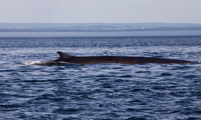 2011 quebec whale watching (21 of 80).jpg