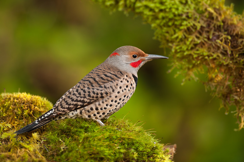 Northern Red Shafted Flicker
