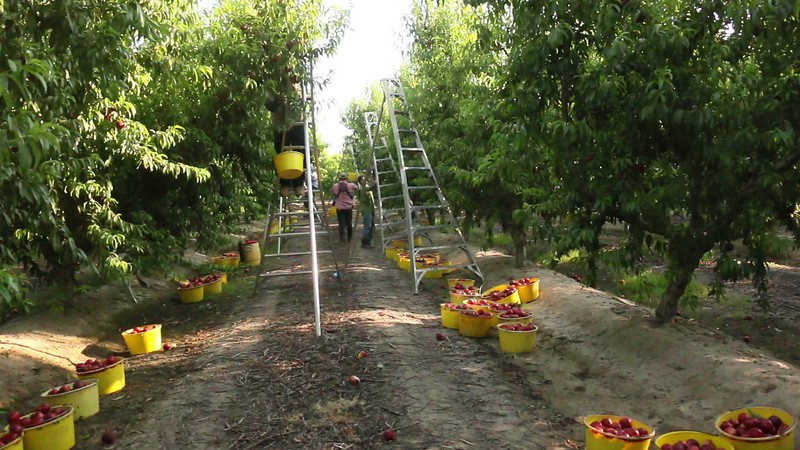 Harvest Early Morning in Orchard with Buckets.MOV