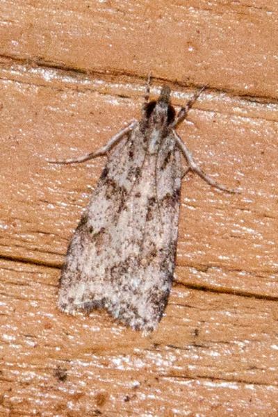 Scoparia - Double-striped - (Scoparia biplagialis) - Dunning Lake - Itasca County, MN