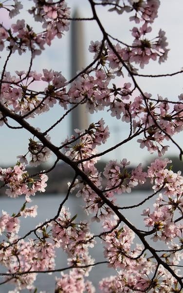 CherryBlossomSP-20.jpg