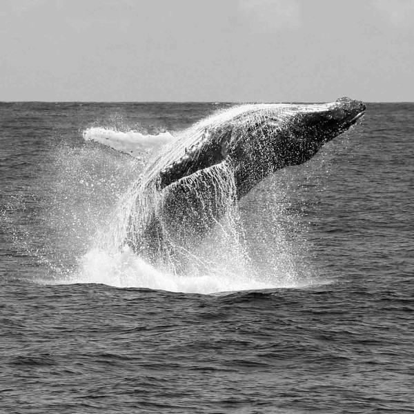 Baleine à bosse 3 Megaptera novaeangliae-île Maurice_océan Indien.JPG