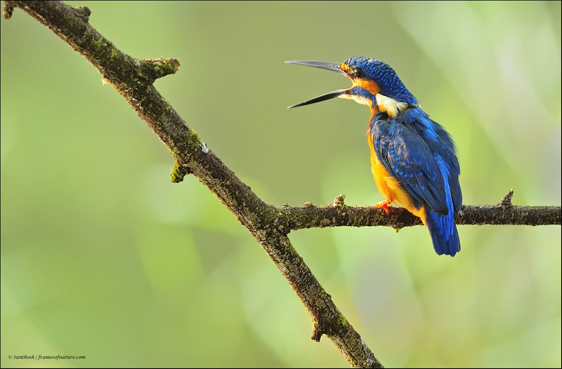 Common Kingfisher-07.jpg