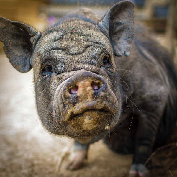 Amelie-Buellet-refuge-cochon-2016-0036.jpg