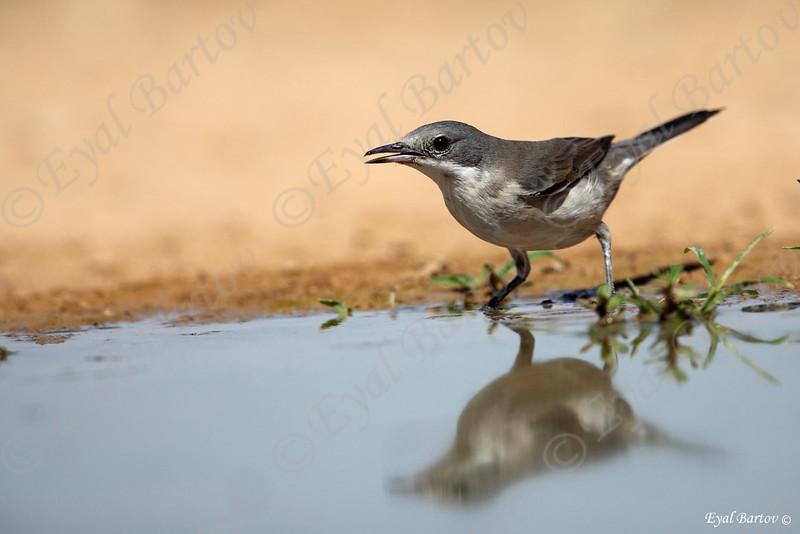 Orphean Warbler, Sylvia hortensis - סבכי חורש