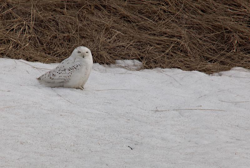 Snowy Owl  Tam 400/4 &1.4TC about F8 (11) Salisbury Reserve