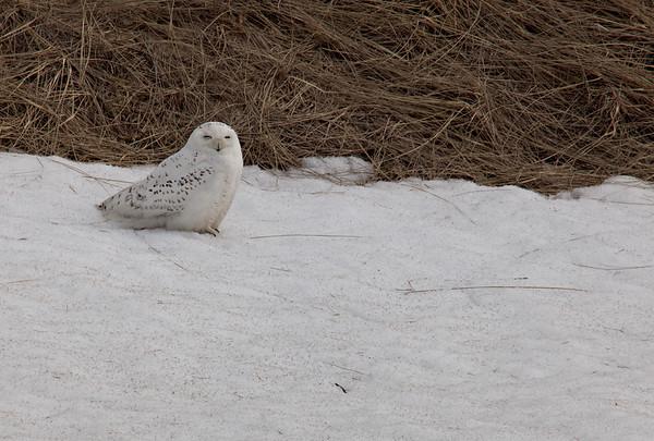 Snowy Owl- 2015, 2018, 2019, 2020, 2021