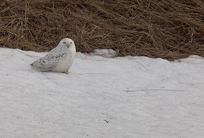 Snowy Owl- 2015, 2018, 2019, 2020