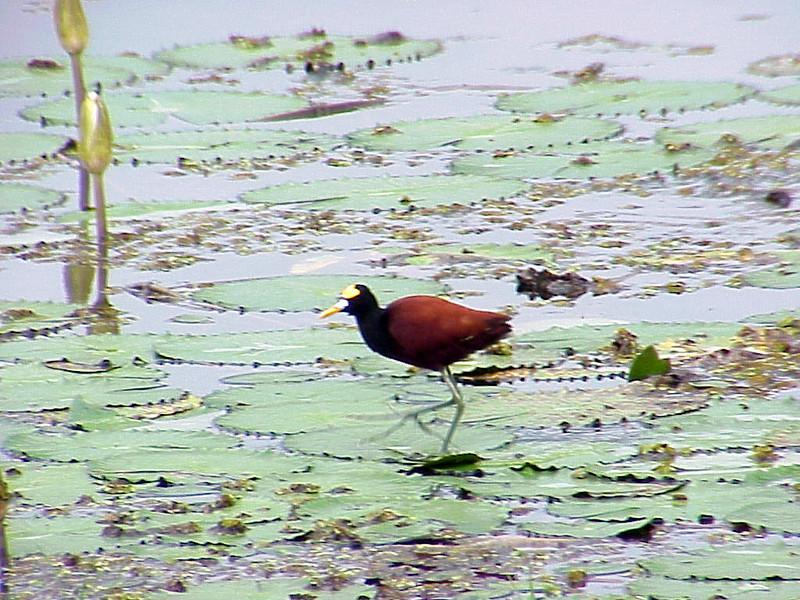 Northern Jacana at Catie Pond Turrialba Costa Rica 2-13-03 (50898188)
