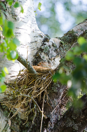 Broget Fluesnapper - (Ficedula hypoleuca)