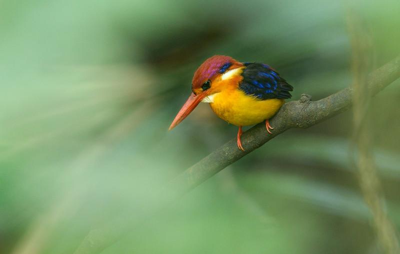 Oriental-dwarf-kingfisher-dreamy-goa.jpg