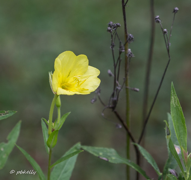 08-27-17.  Common Evening Primrose, Oenothera biennis.