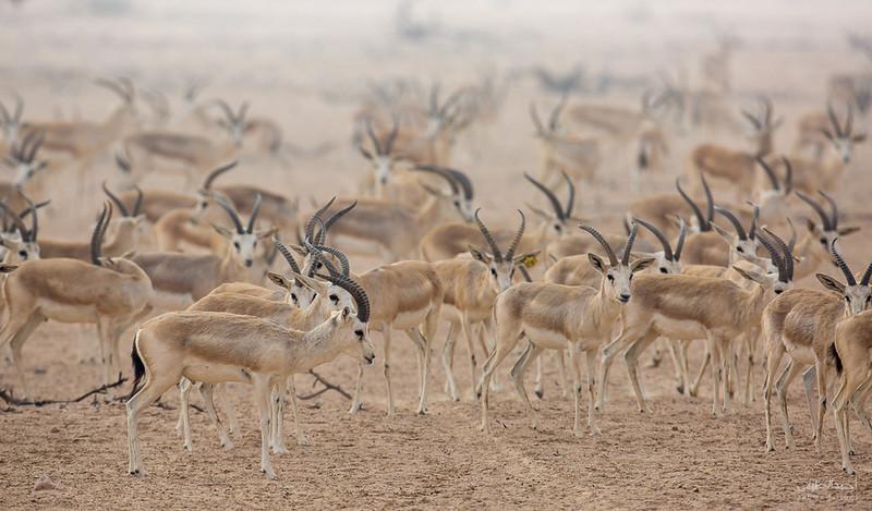 Gazelle (20).jpg