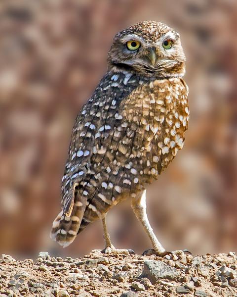 Burrowing Owl - Judith Sparhawk
