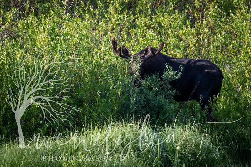 wlc Center creek moose LC sunset 072119 12019.jpg