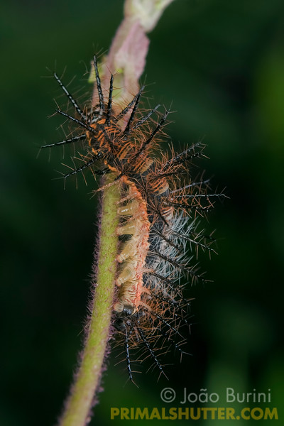 Caterpillar of an Actinote anteas butterfly, in Intervales State Park, Brazil. South-east atlantic forest reserve, UNESCO World Heritage Site.