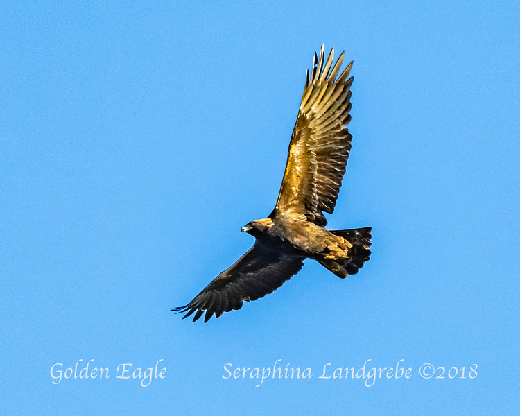 _DSC6107Golden Eagle.jpg