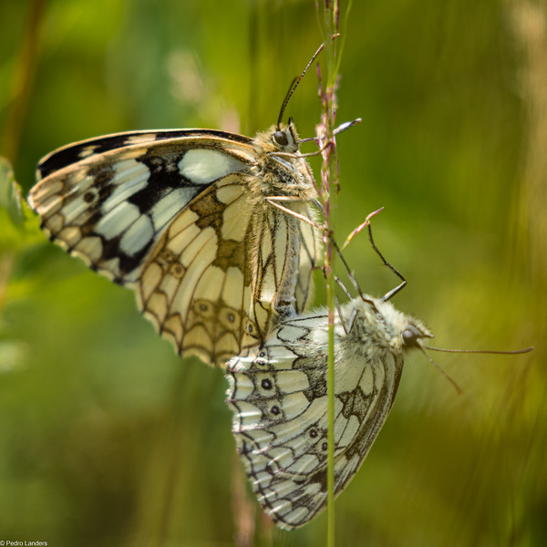 Marbled Whites.jpg