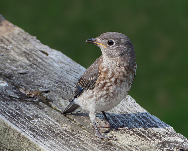 sx30_bluebird_fledgling_051.jpg