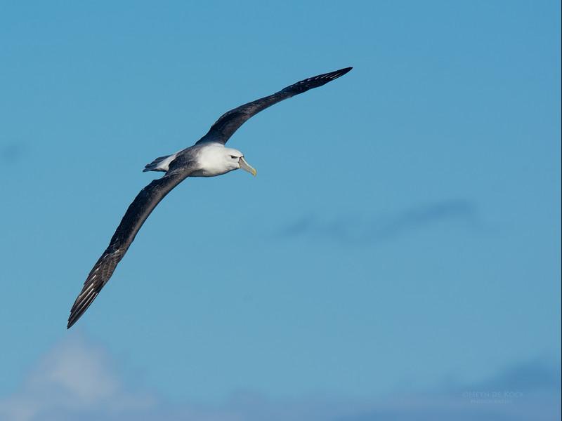 Shy Albatross, Eaglehawk Neck Pelagic, TAS, May 2016-11.jpg