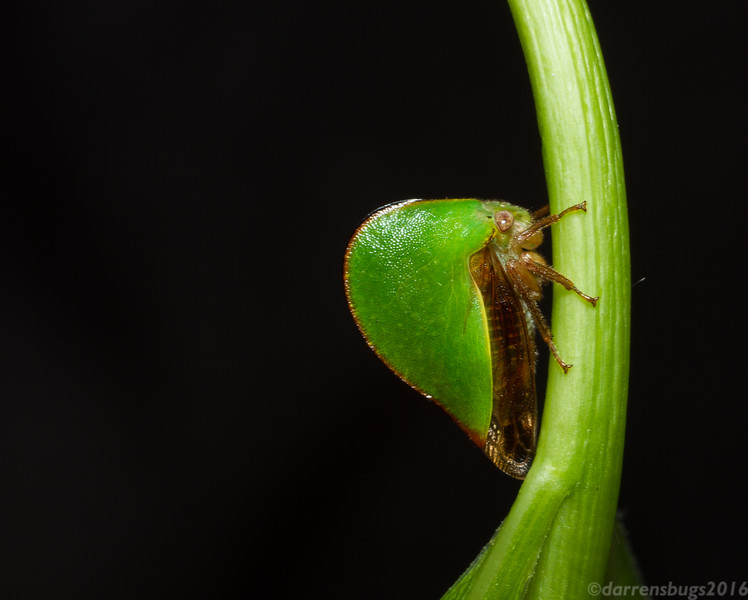 Treehopper (Membracidae) from Iowa, USA.