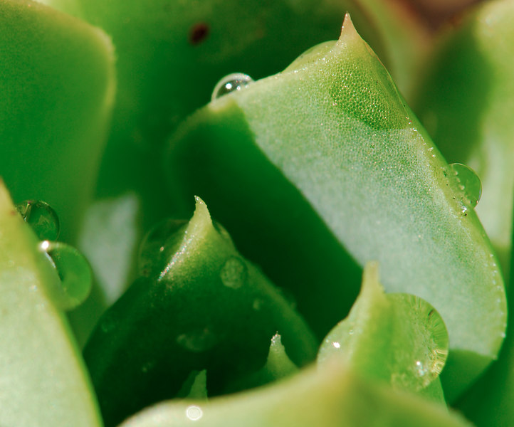 Water drops on succulent