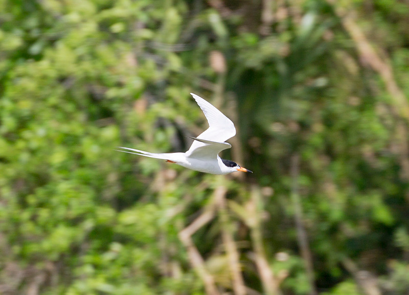 A Common Tern in flight