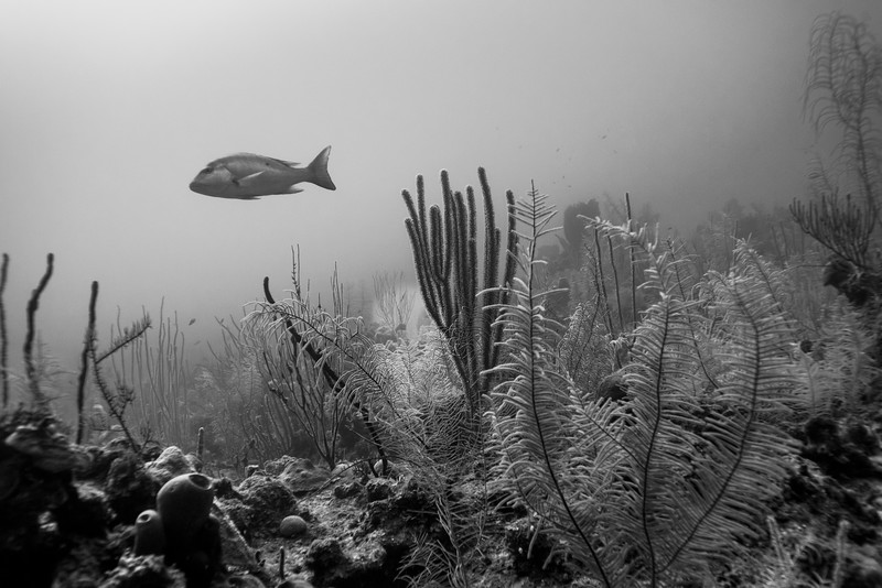 Snapperfish with corals underwater, Turneffe Atoll, Belize Barrier Reef, Belize