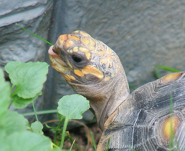 Red-Foot Tortoise (Reuben)