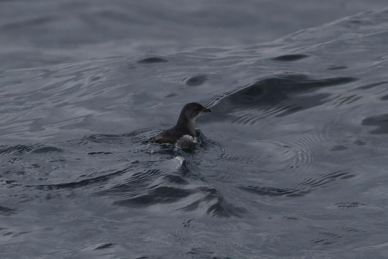 Common Diving-petrel Eaglehawk Neck, TAS September 04, 2011 IMG_8015
