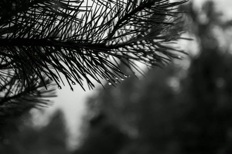 Raindrops on a pine tree.