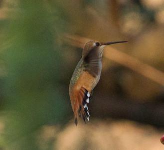 Selasphorous Hummingbird
