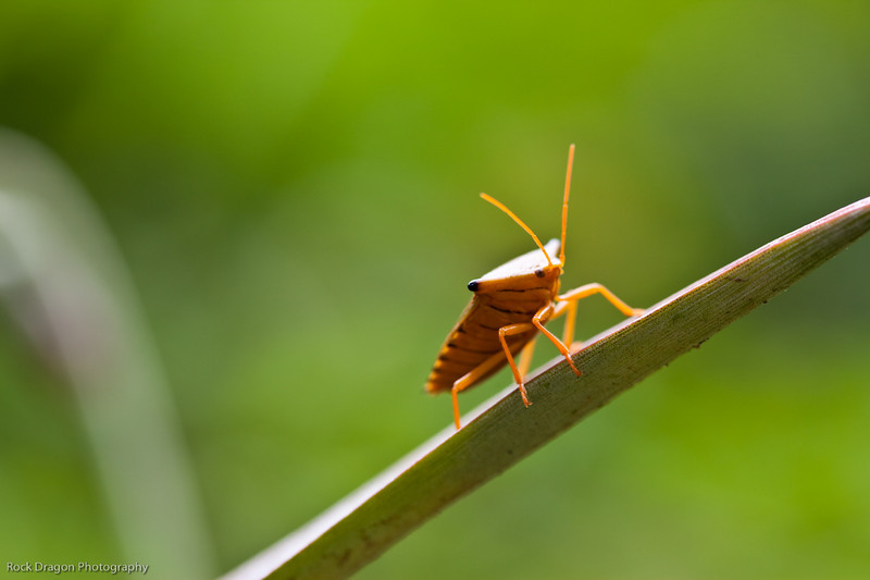 A Stink Bug in the rain forest of Peru.